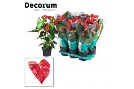 Anthurium andr. dakota decorum