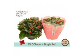 Kalanchoe rood in sv.colours hoes