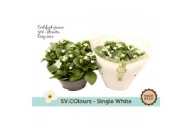Kalanchoe wit in sv.colours hoes
