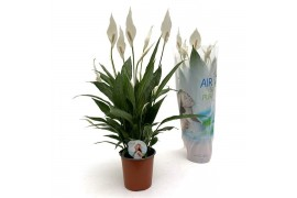 Spathiphyllum silver cupido air so pure