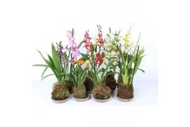 Oncidium mix fp165-098.00 1 tak 8+ knop forest orchids