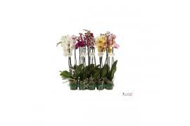Phalaenopsis misto 2 ramo 22+ 75cm